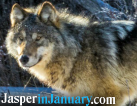 Jasper Winter Wildlife Search 2019